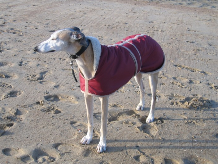 sighthounds galgo picture
